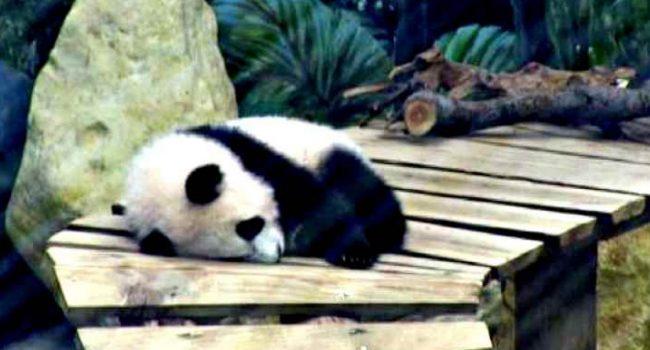 Fan Xiang: il primo Panda Gigante nato in Olanda (VIDEO)