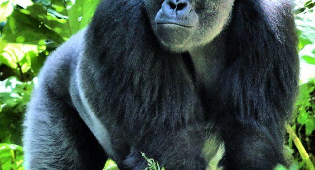 Covid19: 3 gorilla dello ZOO positivi: forse contagiati dal personale